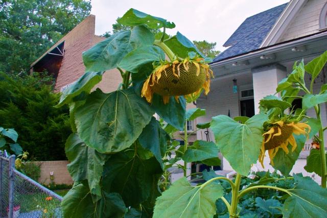 Sunflower in July